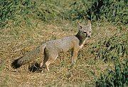 Gray fox standing in grass