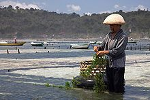 A person stands in shallow water, gathering seaweed that has grown on a rope.