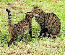 Scottish wildcat & kitten.jpg