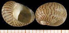 Theodoxus danubialis.jpg