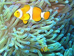 a colorful cloudfish swimming near a sea anemone