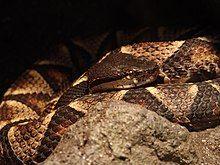 Sharp-Nosed Viper 01.jpg