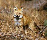 Sierra Nevada Red Fox, Lassen Volcanic National Park- Keith Slausen USFS 2002.jpg