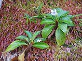Viola stipularis