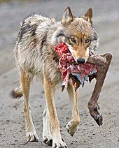 Photograph of a wolf carrying a caribou leg in its mouth
