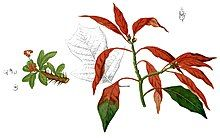 A colored illustration shows the tip of a wild poinsettia branch. The leaves are less densely clustered. Leaves are long and ovate; most are red but one is green, and one is red at the base and green at the tip.