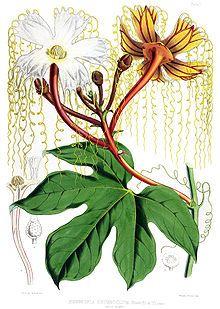 Hodgsonia heteroclita male.jpg