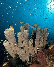 Callyspongia sp. (Tube sponge).jpg