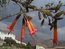 Kantutas Cuzco.jpg