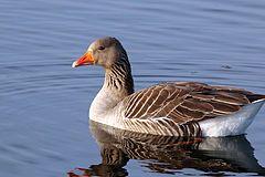 Greylag goose swimming (anser anser).jpg