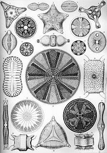 Haeckel Diatomea 4.jpg