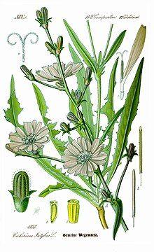 Botanical illustration of chicory
