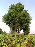 Neem-Tree.jpg