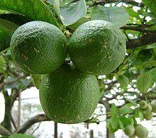 Limão Citrus Aurantifolia.JPG