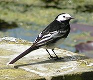 Pied Wagtail rear view 700.jpg