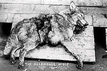 """Black and white photograph of a dead wolf with """"The Allendale Wolf"""" written on the bottom"""