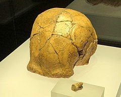 和县人头盖骨(模型)、臼齿 1288.jpg
