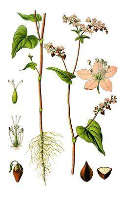 Illustration Fagopyrum esculentum0 clean.jpg