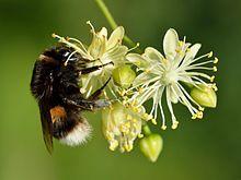 Bombus terrestris queen - Tilia cordata - Keila.jpg