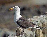 Great Black-backed Gull Larus marinus.jpg
