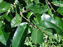 Starr 070111-3283 Chrysophyllum oliviforme.jpg