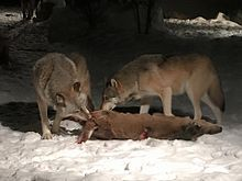 Photograph of two wolves eating a deer carcass at night