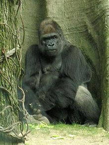 Stavenn Gorilla gorilla 00.jpg