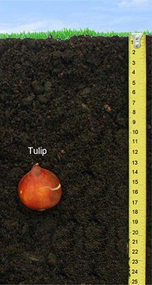 Tulip Bulb Depth