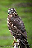 Northern (Hen) Harrier.jpg