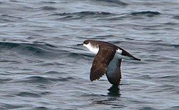 Puffinus puffinus -Iceland -flying-6.jpg