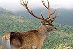 Caspian Red Deer (Maral) in Arasbaran forest.jpg