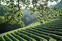 Korea-Boseong-Green.tea-09.jpg