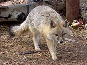 Gray fox on dirt