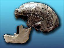 Sinathropus pekinensis.jpg