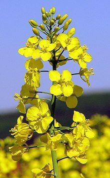 Brassica napus 2.jpg