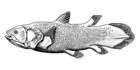 Coelacanth-bgiu.png