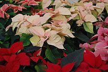 A variety of poinsettias, including with pink, white, red, or pink and white variegated bracts