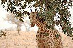 Giraffe koure niger 2006.jpg