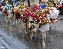 Retrieving cattle from high pastures in the Alps is a social highlight for tourists and residents.