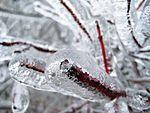 雨氷が付着した枝先の拡大写真