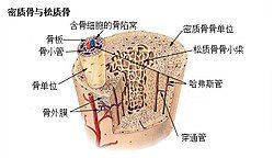 Illu compact spongy bone zh.jpg