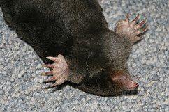 鼹鼠的前肢
