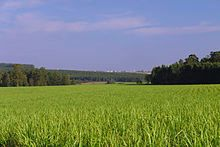 A field of sugarcane for ethanol production