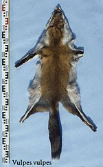 Vulpes vulpes (China, central) fur skin.jpg
