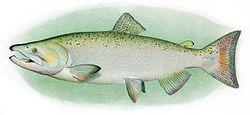 Chinook Salmon Adult Male.jpg