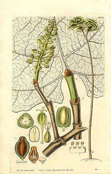 Coccoloba pubescens PDold.jpg