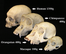 Primate skull series with legend cropped.png