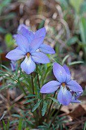 Flowers of Viola pedata