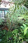 Cycas debaoensis - Brooklyn Botanic Garden - Brooklyn, NY - DSC07992.JPG