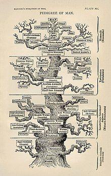 Ernst Haeckel's pedigree of Man family tree from Evolution of Man
